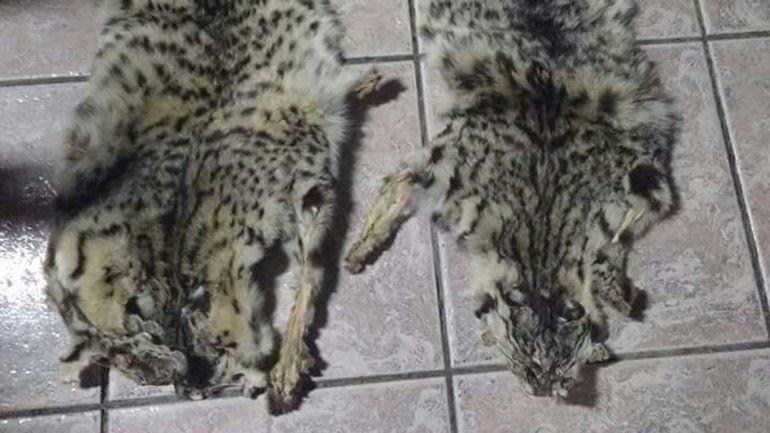 Bronca por un vecino que vende cueros de gato montés en Face