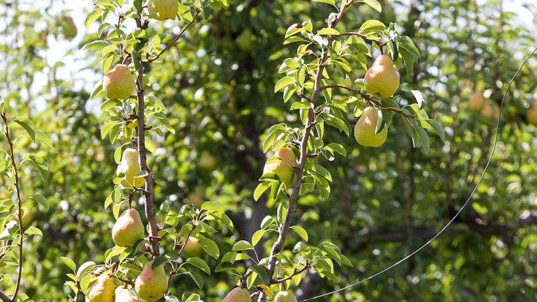 Ayer se inició a toda marcha la cosecha de peras en el Alto Valle.