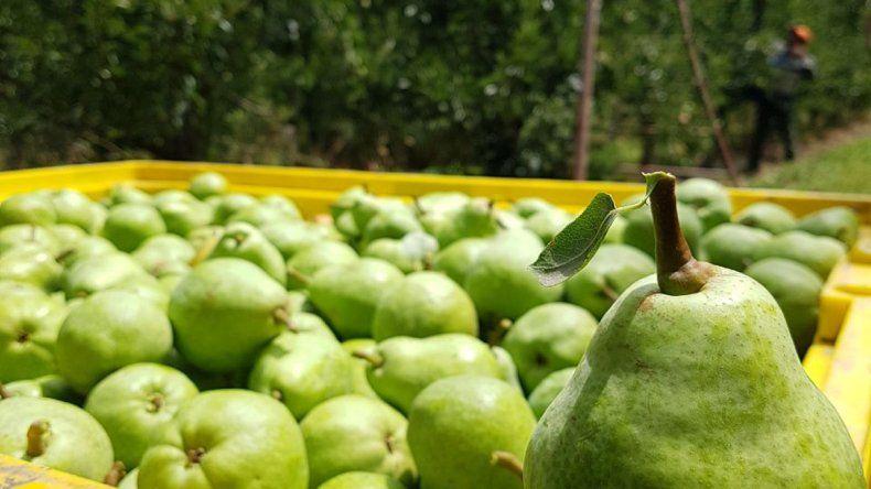 Así comenzó la cosecha de peras Williams en el Valle