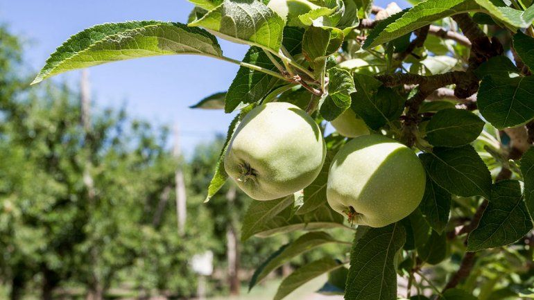 La cosecha de la fruta atrae a miles de trabajadores de provincias del norte.