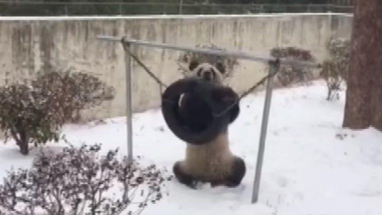 Así disfrutan los osos pandas de la nieve en China
