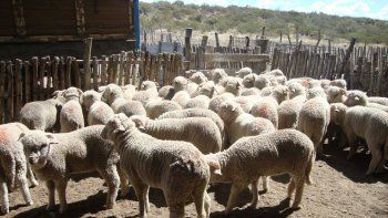 La producción ovina resulta muy vulnerable al problema climático.
