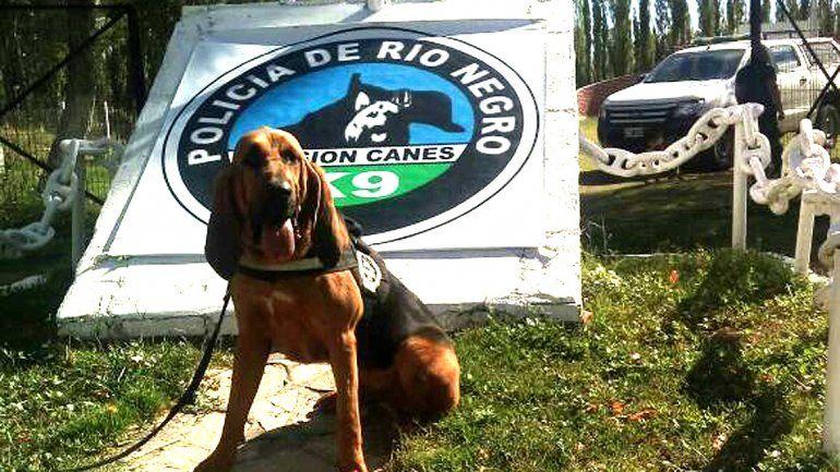 Aike, un Bloodhound de dos años entrenado en rastro específico de grandes áreas.