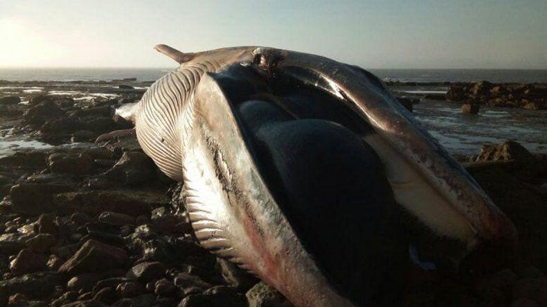 Apareció una ballena jorobada de 10 metros muerta cerca de El Cóndor
