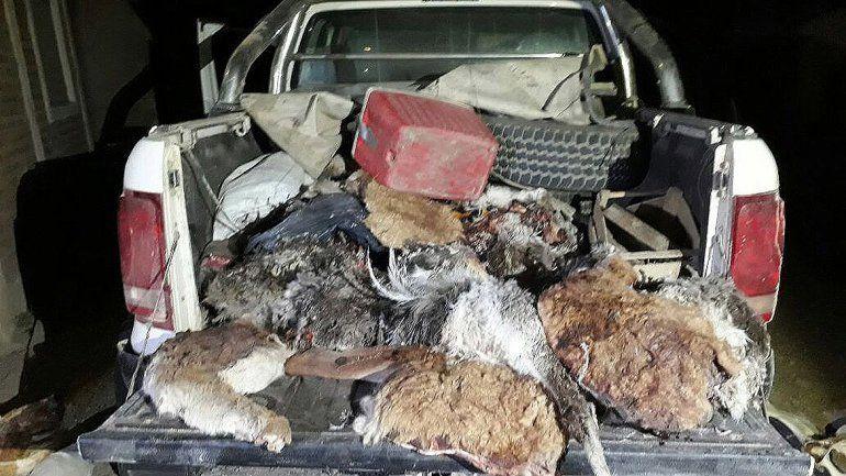 Decomisaron un gran cargamento de animales silvestres despellejados por cazadores furtivos