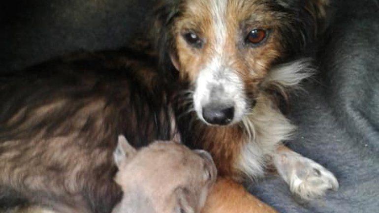 Salvaron a un perrito de morir asfixiado adentro de una bolsa y ahora le buscan un hogar