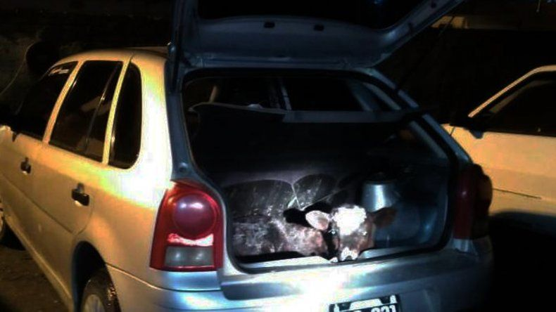Llevaban un ternero vivo en el auto y dijeron que era para que no muriera de frío