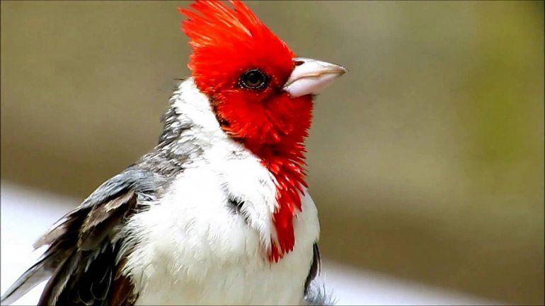 La Brigada rescató a un cardenal copete rojo