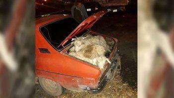 Insólito: transportaba 19 chivos vivos en su Renault 12