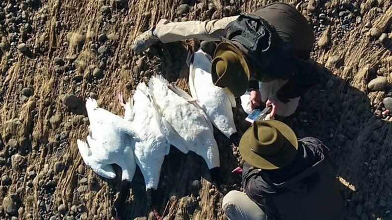 Mataron a cisnes de cuello negro con rifles de aire comprimido