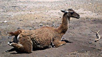 el guanaco de la reserva la chacra aparecio despellejado y mutilado