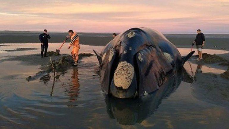 Intenso operativo para rescatar a una ballena varada en San Antonio Este