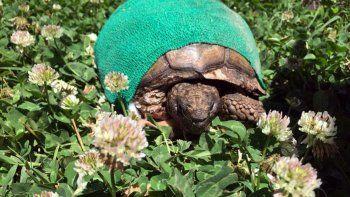 conoce a coco, la tortuga que fue rescatada del abandono