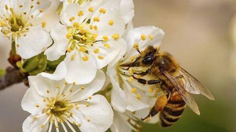 El rol fundamental de las abejas para la producción de peras y manzanas