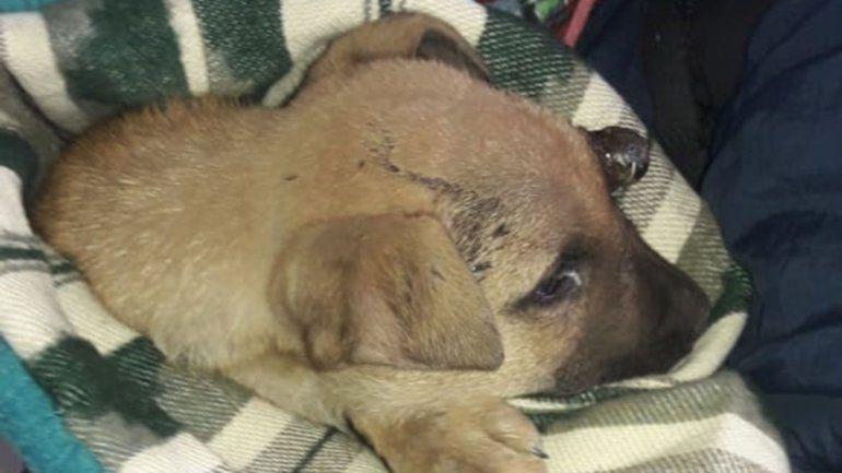 Operaron al cachorrito herido por un perro más grande