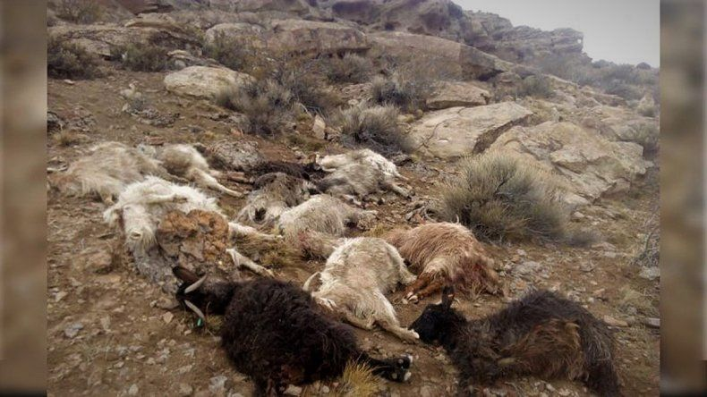 Criancero neuquino acorralado por pumas y perros: le mataron más de 55 chivas