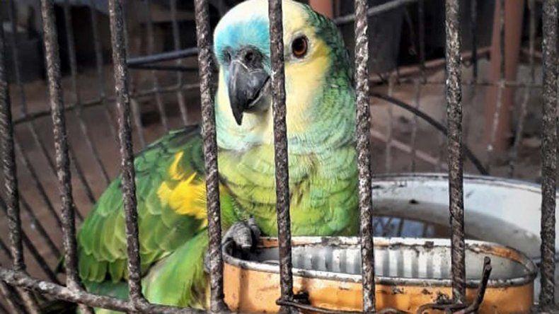 Secuestraron más aves silvestres que estaban en cautiverio en Cipolletti