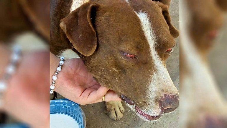 Brutal agresión a un perro: lo apuñalaron y quemaron los genitales