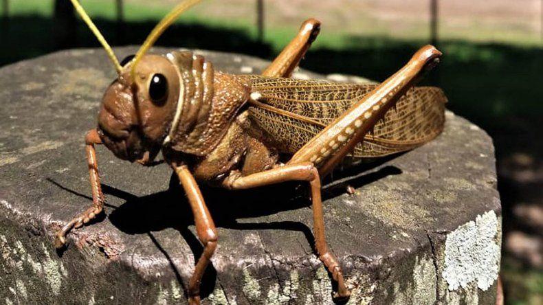 Tucura sapo: qué son los insectos caníbales plaga en la Patagonia