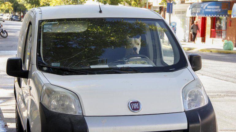 Con ventanillas bajas y cinturón puesto, el perro conductor le alegró la mañana a los cipoleños
