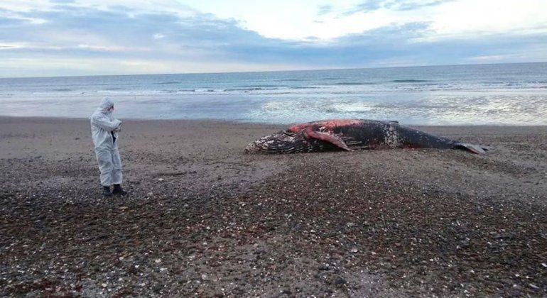 Hallaron una ballena jorobada muerta cerca del Puerto del Este