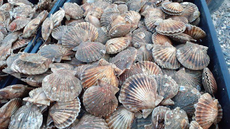 Habilitan la extracción de moluscos con rastras en San Antonio