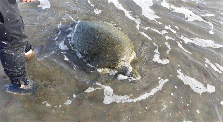 Encontraron una tortuga verde en la playa y la devolvieron al mar