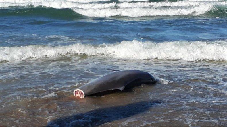 Provincia realizó una denuncia penal por el delfín que hallaron mutilado
