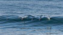 mira como una familia de delfines surfea las olas en las grutas