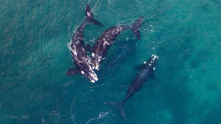 Las Grutas, un paraíso de amor para las ballenas francas