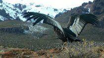 emocionante: liberaron a un condor recuperado en bariloche