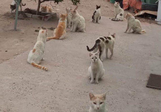 Los gatos deambulan por la casa donde quedaron solos. Los quieren asistir y castrarlos