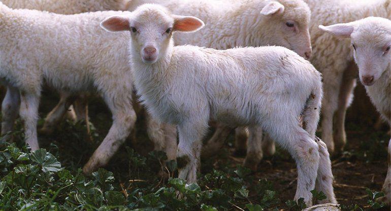 Cipoleños compensan a criancero por pagar corderos con plata falsa