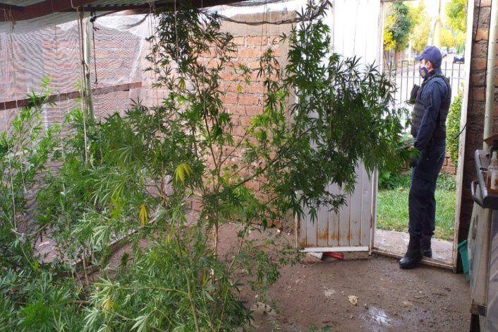 Hallaron plantas de marihuana del tamaño de un árbol