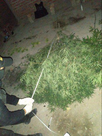 Secuestraron más de 50 plantas de marihuana