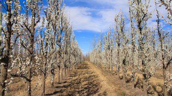 La menor floración de las variedades de manzana roja, en comparación con el año pasado, implica que habrá un descenso en la cantidad disponible de estas frutas.