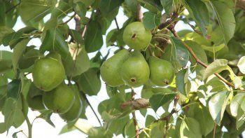 Los trabajadores golondrina ya están levantando la cosecha en las chacras de Cipolletti y la región.