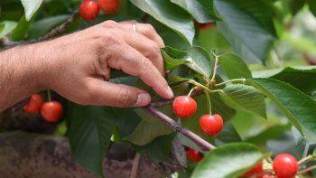 rio negro se convirtio en la primera provincia exportadora de cereza