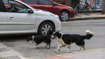 En la ciudad, sobre todo a partir de la pandemia, ha crecido y se ha salido de control la población animal. Y las castraciones todavía son muy pocas.