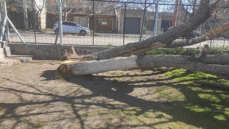 El viento derribó un histórico árbol en la Escuela 258