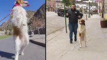 dexter el hermoso perro viral que camina en dos patas tras un accidente