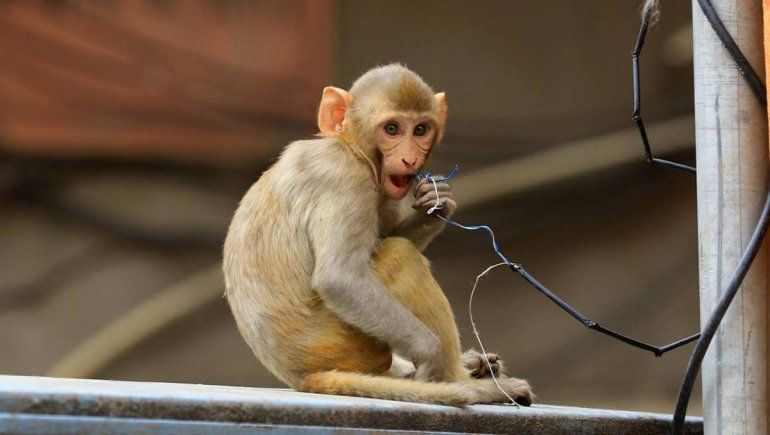 Un grupo de monos robó muestras de pacientes con coronavirus