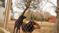 El problema de la superoblación de perros y gatos y el debate con las proteccionistas tensa el trabajo institucional del Municipio.
