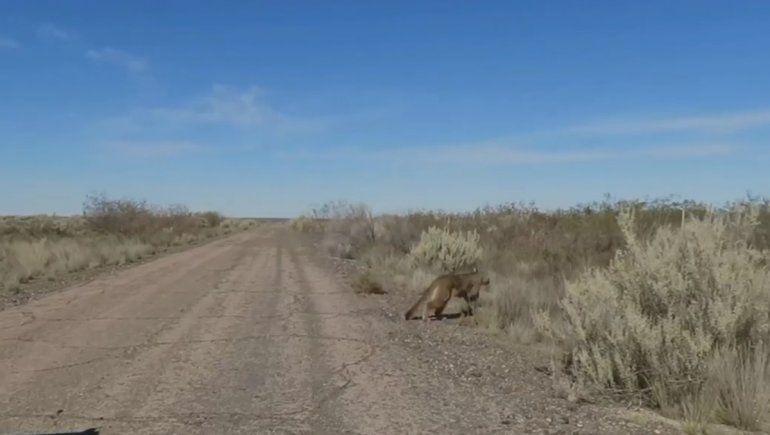 Liberaron a una puma que había sido rescatado por un productor rionegrino