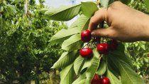 llegan los primeros trabajadores para la cosecha de cerezas