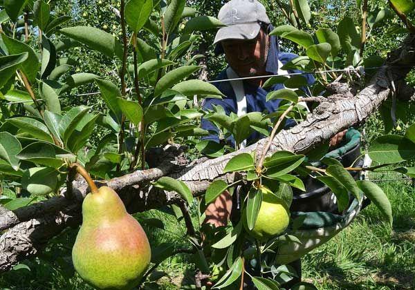 Arrancó la cosecha de pera en el Alto Valle