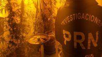 secuestran plantas de marihuana en allanamientos