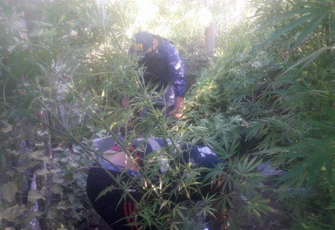 En uno de los allanamientos encontraron una plantación de marihuana.
