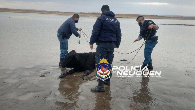 Salvaron a una vaca que se había empantanado a la orilla del lago
