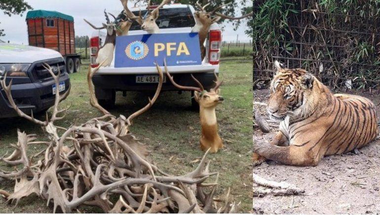 Tenía en su campo un zoo clandestino con tigres, pumas y búfalos